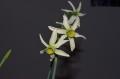 Fragrant Rose x N. viridiflorus