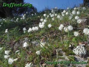Narcissus cantabricus