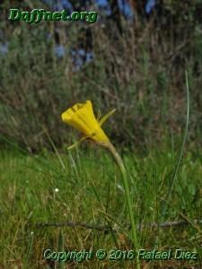 Narcissus romanensis