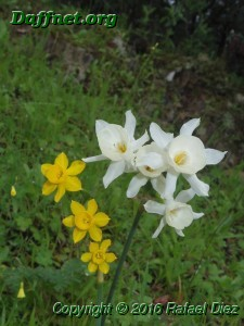 Narcissus fernandesii and it's hybrid with Narcissus cantabricus