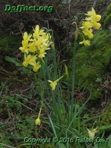 Narcissus x hervasii nothovar. hervasii