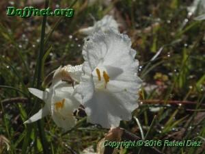 Narcissus cantabricus f. petunioides