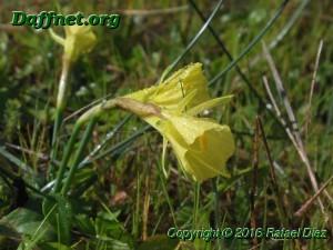 Narcissus romanesis