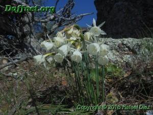 Narcissus x susannae