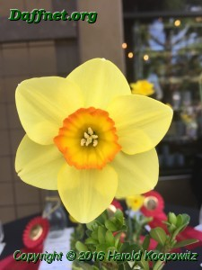 'Dimity' Best bloom at the Roger's Show.