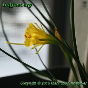 N. bulbocodium subsp. bulbocodium var. nivalis