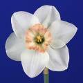 Best Intermediate Bloom Ribbon Winner, Livermore 2016