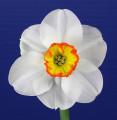 Classic Single Stem Exhibit Ribbon Winner and Classic Best Bloom Ribbon Winner
