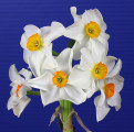 Historic Best Bloom Ribbon Winner