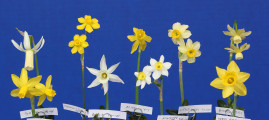 The Bankhead award for 9 different Mini daffodils. Exhibited by Susan Basham