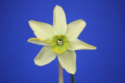 Really nice Viridiflorus seedling by DG Leenen. Exhibited by Carol Smith.