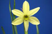 VERY nice viridiflorus seedling by DG Leenen. Exhibited by Carol Smith