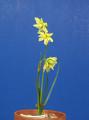Viridiflorus seedling plant by DG Leenen. exhibited by Carol Smith