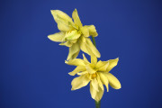 Viridiflorus seedling by DG Leenen. exhibited by Carol Smith.