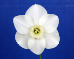 The Best Daffodil in Show (Gold Ribbon) was Angel, taken from the Purple Ribbon Winning 5 stem collection.