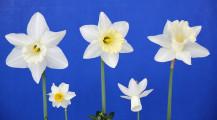 The Historic 5 stem award winner. Flowers of Beersheba, Trousseau, Mt Hood, Beryl, & Rippling Waters. Exhibited by Mike & Lisa Kuduk.