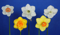 the Intermediate 5 stem award winner, was exhibited by Suzy Suzy Smucker Wert, with the flowers of: Pink Sunday, Lissome, Vera Robbins, Little Alice & La Traviatta.