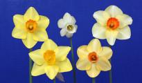 Red White & Blue Award with flowers of Resplendent, Lemon Silk, California Classic, Miss Primm and Magic Lantern.