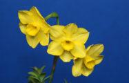 Daffseek: Yellow Dessert Bells, exhibited by Joe Hamm.
