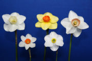 The Intermediate 5 stem ribbon was exhibited by Mary Lou Gripshover with the flowers of 84-3-Y, Scarlett Tanager, Little Rosie, Pogo & Olentangy