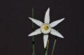 N. cantabricus x emerald sea 1