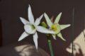 N. cantabricus x emerald sea 2