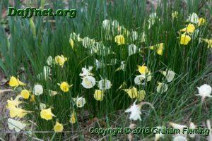 Box of bulbocodium hybrids flowering
