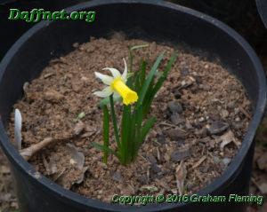 Kb 6w y seedling that has a flower that is intermediate sized on a very dwarf stem edited 1