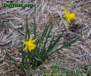 Miniature 1y y seedling in the garden edited 1