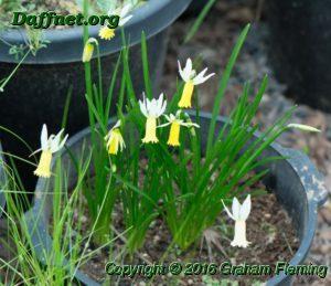 Pot of kb mini 6w y seedlings flowering in the shadehouse edited 1