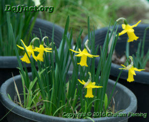 Pot of miniature 1y y's on the hybridising table edited 1
