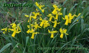 Some 6y y seedlings flowering in the daffodil paddock