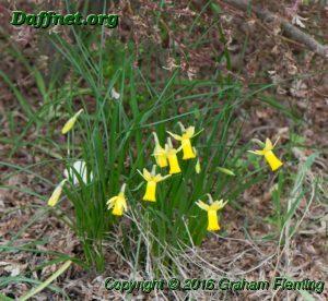 Some bicolor miniature 6y y seedling flowering in the garden edited 1