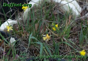 Some micro minis flowering in the daffodil paddock