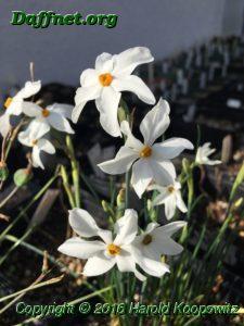 Narcissus obsoletus x N. miniatus