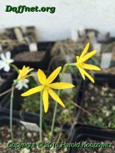 N. viridiflorus x N. cavanillessii