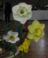 Iris showa
