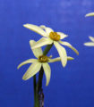 Mini Gold from the Watrous Collection - TS 3, by Harold and Steve.