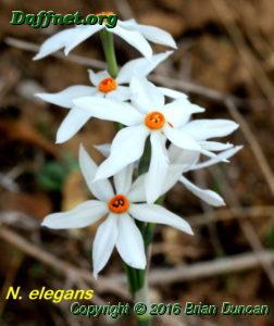 N. elegans