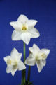 The Standard White Ribbon for the best 3 stem larger Daffodil in show. Edmont Snowcloud, by Mitch and Kate Carney.