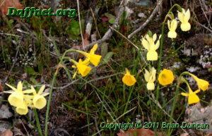 N. bulbocodium n. triandrus and their hybrids n. x fosteri