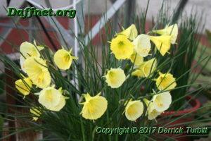Bulbocodium hybrid seedlings