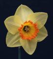 Historic Best Bloom Ribbon Winner exhibited by Karen Fanning