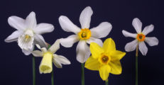 Historic Daffodil Collection of Five Ribbon