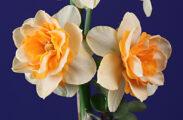 Miniature Rose Ribbon winner