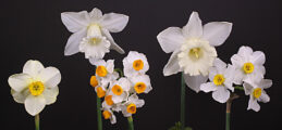 Historic Daffodil Collection of Five Ribbon Winner