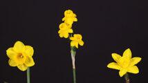 Three Miniatures by Hybridizer Ribbon Winner