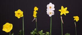 Six Miniatures by Hybridizer Ribbon Winner