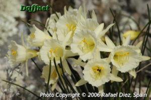 Narcissus blancoi