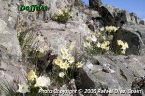 Narcissus blancoi, N. x oretanus and Narcissus cantabricus